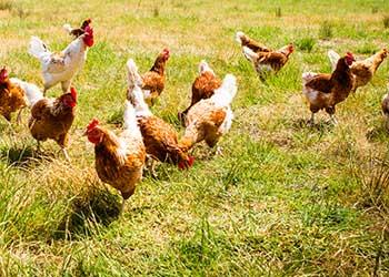 chicken-farm EU Halal Poland